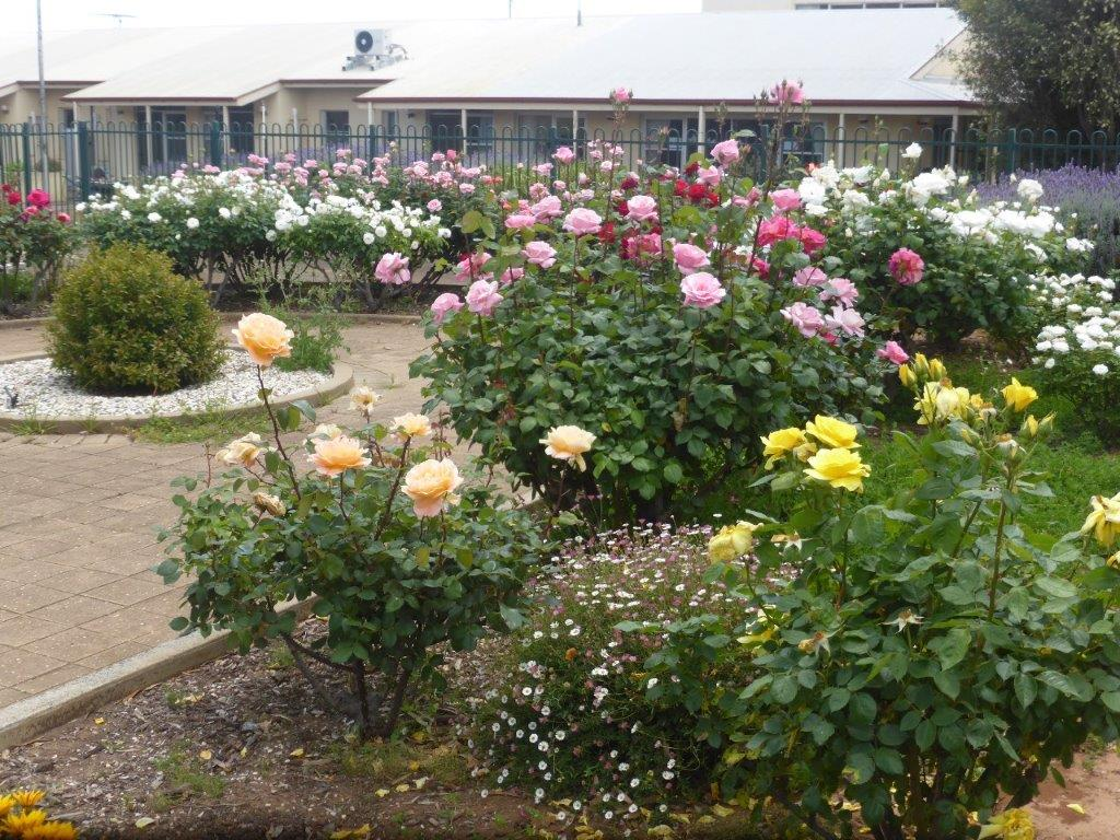 Eudunda Hospital Light on the Hill Gardens - More Magnificent Roses