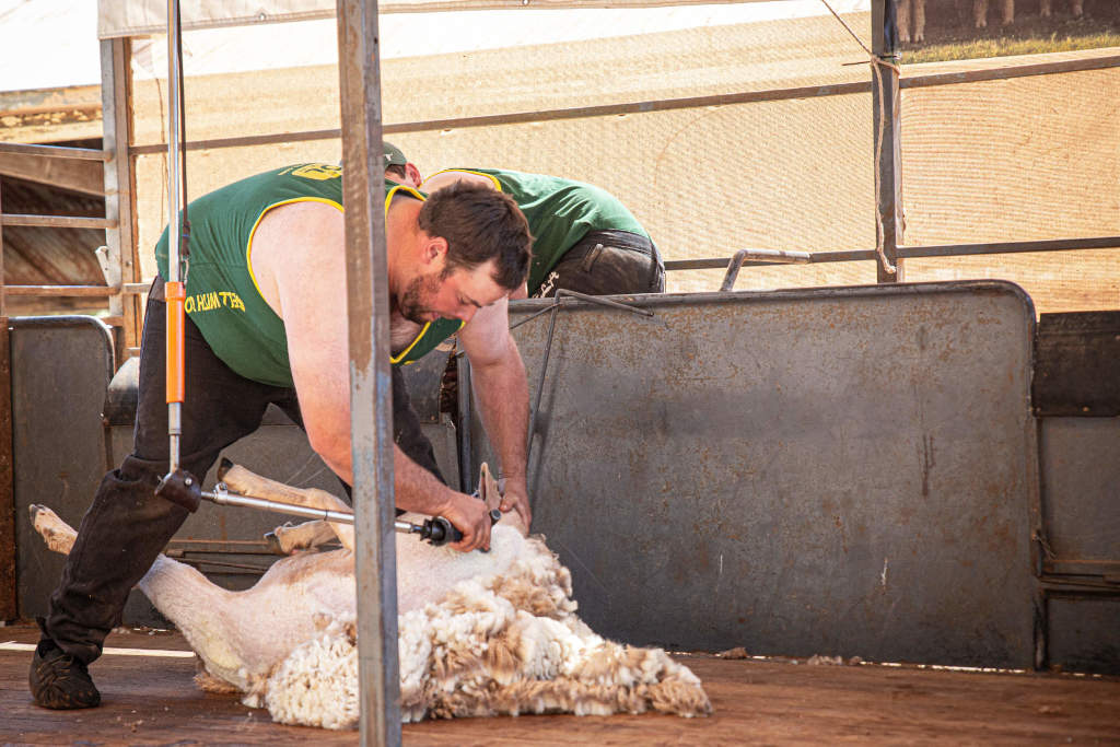 Speed Shearing Competition - Photo by Robyn Bradbrook